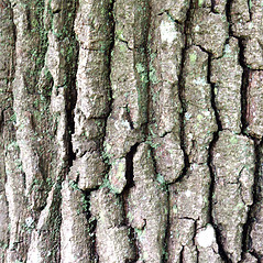 Bark: Quercus montana. ~ By Glenn Dreyer. ~ Copyright © 2020 Glenn Dreyer. ~ None needed