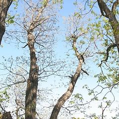 Plant form: Quercus montana. ~ By Arieh Tal. ~ Copyright © 2018 Arieh Tal. ~ http://botphoto.com/ ~ Arieh Tal - botphoto.com