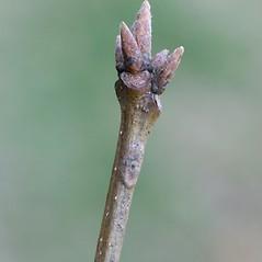 Winter buds: Quercus montana. ~ By Arieh Tal. ~ Copyright © 2018 Arieh Tal. ~ http://botphoto.com/ ~ Arieh Tal - botphoto.com
