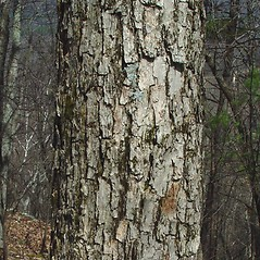 Bark: Quercus muehlenbergii. ~ By Arthur Haines. ~ Copyright © 2020. ~ arthurhaines[at]wildblue.net