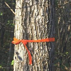 Bark: Quercus muehlenbergii. ~ By Arieh Tal. ~ Copyright © 2020 Arieh Tal. ~ http://botphoto.com/ ~ Arieh Tal - botphoto.com