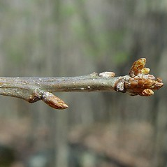 Winter buds: Quercus muehlenbergii. ~ By Arthur Haines. ~ Copyright © 2020. ~ arthurhaines[at]wildblue.net