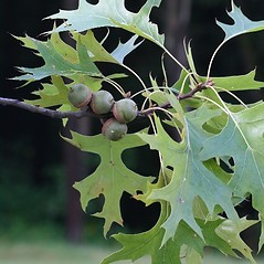 Fruits: Quercus palustris. ~ By Arieh Tal. ~ Copyright © 2018 Arieh Tal. ~ http://botphoto.com/ ~ Arieh Tal - botphoto.com