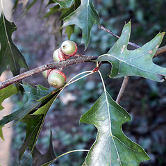 Fruits: Quercus palustris. ~ By Glenn Dreyer. ~ Copyright © 2020 Glenn Dreyer. ~ None needed
