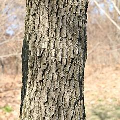 Bark: Quercus prinoides. ~ By Arieh Tal. ~ Copyright © 2018 Arieh Tal. ~ http://botphoto.com/ ~ Arieh Tal - botphoto.com