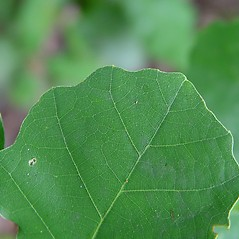 Leaves: Quercus prinoides. ~ By Arthur Haines. ~ Copyright © 2020. ~ arthurhaines[at]wildblue.net