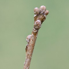 Winter buds: Quercus prinoides. ~ By Arieh Tal. ~ Copyright © 2020 Arieh Tal. ~ http://botphoto.com/ ~ Arieh Tal - botphoto.com