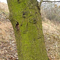 Bark: Quercus robur. ~ By Leo Michels. ~  Public Domain. ~  ~ Imagines Plantarum - www.imagines-plantarum.de/