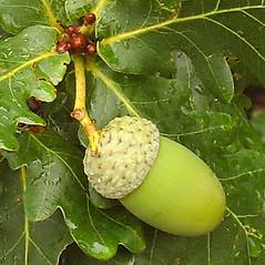 Fruits: Quercus robur. ~ By Alexey Zinovjev. ~ Copyright © 2019. ~ webmaster[at]salicicola.com ~ Salicicola - www.salicicola.com/