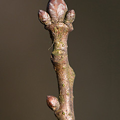 Winter buds: Quercus robur. ~ By Giuseppe Sardi. ~ Copyright © 2019 Giuseppe Sardi. ~ www.parcocurone.it/ambiente/flora/index.php ~ Acta Plantarum -  www.actaplantarum.org
