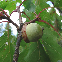 Fruits: Quercus rubra. ~ By Glen Mittelhauser. ~ Copyright © 2020 Glen Mittelhauser. ~ www.mainenaturalhistory.org