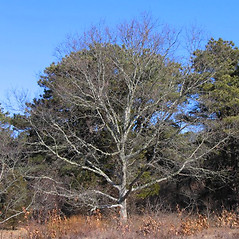 Plant form: Quercus rubra. ~ By Alexey Zinovjev. ~ Copyright © 2017. ~ webmaster[at]salicicola.com ~ Salicicola - www.salicicola.com/