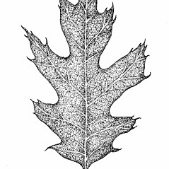 Leaves: Quercus rubra. ~ By Elizabeth Farnsworth. ~ Copyright © 2017 New England Wild Flower Society. ~ Image Request, images[at]newenglandwild.org