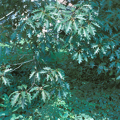 Leaves: Quercus rubra. ~ By Jean Baxter. ~ Copyright © 2017 New England Wild Flower Society. ~ Image Request, images[at]newenglandwild.org