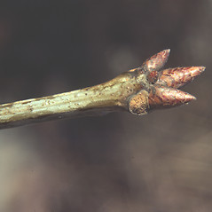 Winter buds: Quercus rubra. ~ By Carol Levine. ~ Copyright © 2019 Carol Levine. ~ carolflora[at]optonline.net
