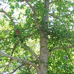Plant form: Quercus stellata. ~ By Alexey Zinovjev. ~ Copyright © 2017. ~ webmaster[at]salicicola.com ~ Salicicola - www.salicicola.com/