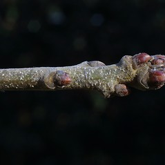 Winter buds: Quercus stellata. ~ By Steven Baskauf. ~ Copyright © 2017 CC-BY-NC-SA. ~  ~ Bioimages - www.cas.vanderbilt.edu/bioimages/frame.htm