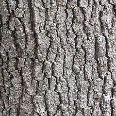 Bark: Quercus velutina. ~ By Glenn Dreyer. ~ Copyright © 2019 Glenn Dreyer. ~ None needed