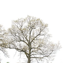Plant form: Quercus velutina. ~ By Arieh Tal. ~ Copyright © 2017 Arieh Tal. ~ www.nttlphoto.com ~ Arieh Tal - www.nttlphoto.com