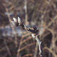 Winter buds: Quercus velutina. ~ By Carol Levine. ~ Copyright © 2019 Carol Levine. ~ carolflora[at]optonline.net