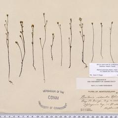 Plant form: Bartonia iodandra. ~ By CONN Herbarium. ~ Copyright © 2019 CONN Herbarium. ~ Requests for image use not currently accepted by copyright holder ~ U. of Connecticut Herbarium - bgbaseserver.eeb.uconn.edu/