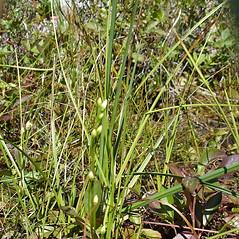 Plant form: Bartonia paniculata. ~ By Jill Weber. ~ Copyright © 2019 Jill Weber. ~ jillweber03[at]gmail.com