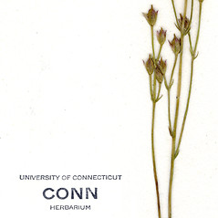 Fruits: Bartonia virginica. ~ By CONN Herbarium. ~ Copyright © 2017 CONN Herbarium. ~ Requests for image use not currently accepted by copyright holder ~ U. of Connecticut Herbarium - bgbaseserver.eeb.uconn.edu/