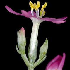 Flowers: Centaurium erythraea. ~ By Gerry Carr. ~ Copyright © 2017 Gerry Carr. ~ gdcarr[at]comcast.net ~ Oregon Flora Image Project - www.botany.hawaii.edu/faculty/carr/ofp/ofp_index.htm