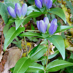Plant form: Gentiana clausa. ~ By Dawn Dentzer. ~ Copyright © 2017. ~ dawndentzer[at]gmail.com