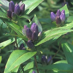 Plant form: Gentiana clausa. ~ By Dorothy Long. ~ Copyright © 2019 New England Wild Flower Society. ~ Image Request, images[at]newenglandwild.org