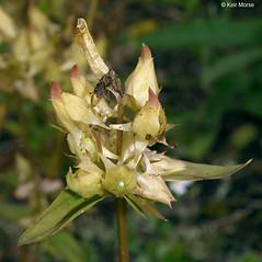 Fruits: Halenia deflexa. ~ By Keir Morse. ~ Copyright © 2019 Keir Morse. ~ www.keiriosity.com ~ www.keiriosity.com