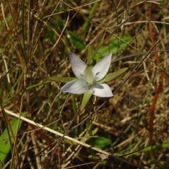 Flowers: Lomatogonium rotatum. ~ By Glen Mittelhauser. ~ Copyright © 2018 Glen Mittelhauser. ~ www.mainenaturalhistory.org