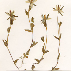 Leaves: Lomatogonium rotatum. ~ By CONN Herbarium. ~ Copyright © 2019 CONN Herbarium. ~ Requests for image use not currently accepted by copyright holder ~ U. of Connecticut Herbarium - bgbaseserver.eeb.uconn.edu/
