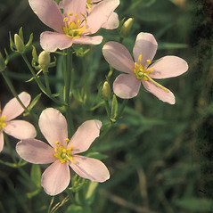 Flowers: Sabatia angularis. ~ By John Lynch. ~ Copyright © 2018 New England Wild Flower Society. ~ Image Request, images[at]newenglandwild.org
