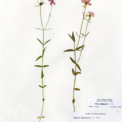 Plant form: Sabatia campanulata. ~ By CONN Herbarium. ~ Copyright © 2017 CONN Herbarium. ~ Requests for image use not currently accepted by copyright holder ~ U. of Connecticut Herbarium - bgbaseserver.eeb.uconn.edu/