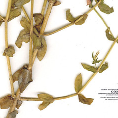 Leaves: Sabatia campestris. ~ By CONN Herbarium. ~ Copyright © 2017 CONN Herbarium. ~ Requests for image use not currently accepted by copyright holder ~ U. of Connecticut Herbarium - bgbaseserver.eeb.uconn.edu/