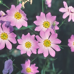 Flowers: Sabatia kennedyana. ~ By Dorothy Long. ~ Copyright © 2020 New England Wild Flower Society. ~ Image Request, images[at]newenglandwild.org