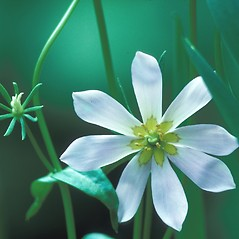 Flowers: Sabatia kennedyana. ~ By William Larkin. ~ Copyright © 2019 New England Wild Flower Society. ~ Image Request, images[at]newenglandwild.org