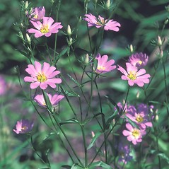 Plant form: Sabatia kennedyana. ~ By Dorothy Long. ~ Copyright © 2019 New England Wild Flower Society. ~ Image Request, images[at]newenglandwild.org