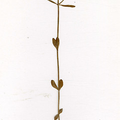 Leaves: Sabatia stellaris. ~ By CONN Herbarium. ~ Copyright © 2018 CONN Herbarium. ~ Requests for image use not currently accepted by copyright holder ~ U. of Connecticut Herbarium - bgbaseserver.eeb.uconn.edu/