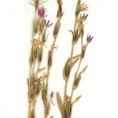 Fruits: Schenkia spicata. ~ By CONN Herbarium. ~ Copyright © 2017 CONN Herbarium. ~ Requests for image use not currently accepted by copyright holder ~ U. of Connecticut Herbarium - bgbaseserver.eeb.uconn.edu/