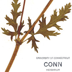 Stems: Erodium botrys. ~ By CONN Herbarium. ~ Copyright © 2020 CONN Herbarium. ~ Requests for image use not currently accepted by copyright holder ~ U. of Connecticut Herbarium - bgbaseserver.eeb.uconn.edu/