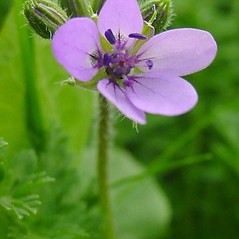 Flowers: Erodium cicutarium. ~ By Glen Mittelhauser. ~ Copyright © 2018 Glen Mittelhauser. ~ www.mainenaturalhistory.org
