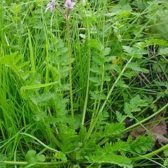 Plant form: Erodium cicutarium. ~ By Glen Mittelhauser. ~ Copyright © 2018 Glen Mittelhauser. ~ www.mainenaturalhistory.org