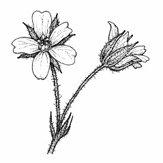 Flowers: Geranium bicknellii. ~ By Elizabeth Farnsworth. ~ Copyright © 2017 New England Wild Flower Society. ~ Image Request, images[at]newenglandwild.org