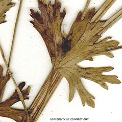 Stems: Geranium bicknellii. ~ By CONN Herbarium. ~ Copyright © 2017 CONN Herbarium. ~ Requests for image use not currently accepted by copyright holder ~ U. of Connecticut Herbarium - bgbaseserver.eeb.uconn.edu/