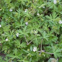Plant form: Geranium carolinianum. ~ By Steven Baskauf. ~ Copyright © 2020 CC-BY-NC-SA. ~  ~ Bioimages - www.cas.vanderbilt.edu/bioimages/frame.htm