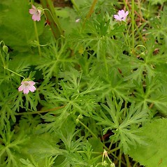 Plant form: Geranium columbinum. ~ By Ben Legler. ~ Copyright © 2018 Ben Legler. ~ mountainmarmot[at]hotmail.com ~ U. of Washington - WTU - Herbarium - biology.burke.washington.edu/herbarium/imagecollection.php