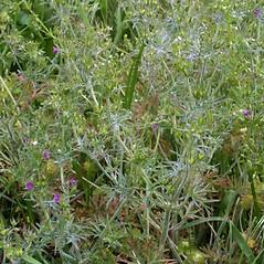 Plant form: Geranium dissectum. ~ By Steven Baskauf. ~ Copyright © 2020 CC-BY-NC-SA. ~  ~ Bioimages - www.cas.vanderbilt.edu/bioimages/frame.htm