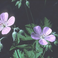 Flowers: Geranium maculatum. ~ By Frank Bramley. ~ Copyright © 2019 New England Wild Flower Society. ~ Image Request, images[at]newenglandwild.org